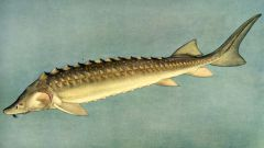 How to breed sturgeon