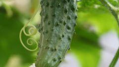 Как хранить огурцы