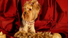 How to educate a Yorkshire Terrier