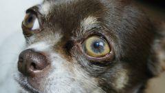 Как кормить щенка чихуахуа