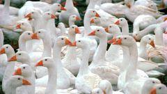Как кормить гусей