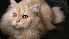 Как колоть уколы кошкам
