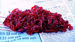 How to keep bloodworms in the home
