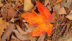 Как рисовать кленовый листья
