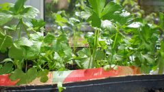 How to grow parsley on the windowsill
