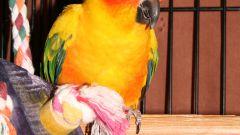Как приучить попугая к клетке