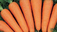 Как вырастить хороший урожай моркови