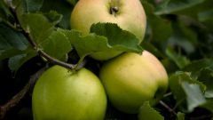How to shape an Apple tree