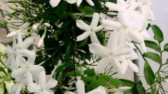 Decorative Jasmine: how to multiply at home
