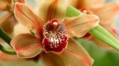 Как растить орхидею