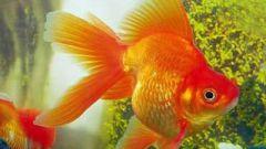 Как разводить золотых рыбок