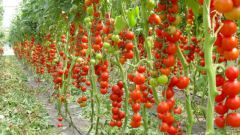 Как подготовить семена томата к посадке