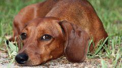 Как лечить цистит у собаки