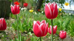 Как поливать тюльпаны