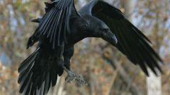 Как отличить Ворона от Вороны