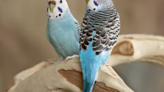 How to distinguish the gender of budgies