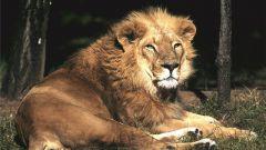 Как рисовать льва карандашом