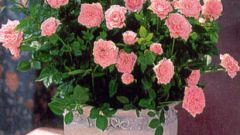 How to grow roses at home