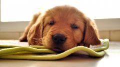 Как обучать щенка