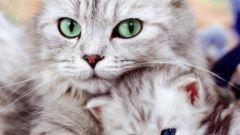 Как понять, что кошка забеременела