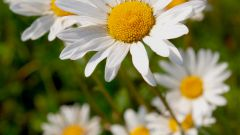 How to prepare a decoction of chamomile
