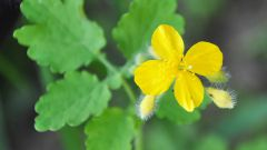 How to prepare celandine