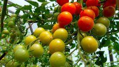 Как выращивать томаты в теплице