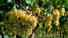 Как привить виноград