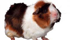 Как подстричь когти у свинки