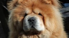 How to feed a Chow Chow