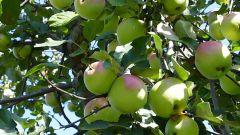Как прививать яблони и груши