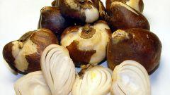 Как хранить луковицы тюльпана