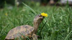 Как заставить черепаху есть