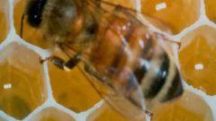 Как покупать пчел