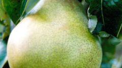 Как обрезать грушу