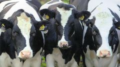 Как построить ферму для коровы