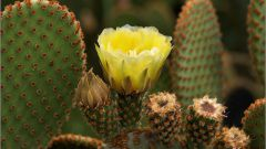 How to make flowered cacti
