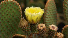 Как сделать, чтобы зацвели кактусы