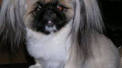 How to cut Pekingese