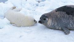 Как нарисовать реалистичного тюленя