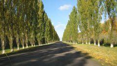How to plant Lombardy poplar