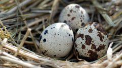 Как применять перепелиные яйца в кулинарии