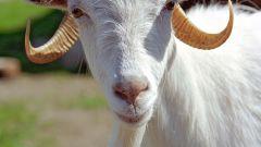Как перевозить коз