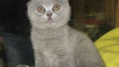 Как назвать вислоухого котёнка
