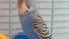 Как назвать попугая мальчика  волнистого