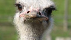 Как выращивать страусов