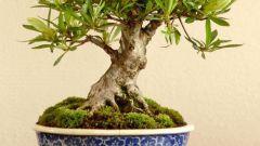 Как сделать дерево бонсай