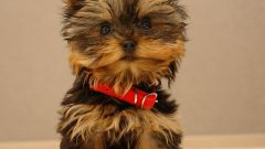 How to train a Yorkshire Terrier