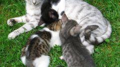 Как определить, беременна ли кошка
