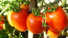 Как высадить помидоры